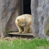 Eisbärmädchen Nanook erkundet die Außenanlage