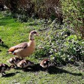 Der Frühling ist in Strünkede eingezogen - Ausflug der Gänsefamilie.