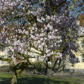 Magnolien vor der dem Schloss Strünkede.