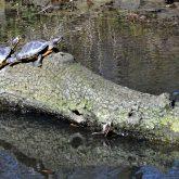 Der Frühling ist in Strünkede eingezogen - die Schildkröten nehmen ein Sonnenbad.