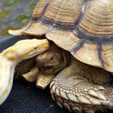 Die Schildkröte Karl-Heinz schmust mit der Tiger-Paython.