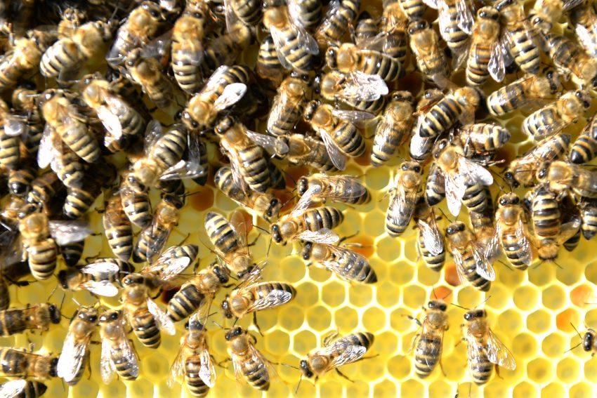 Westliche Honigbiene - im Garten von Tobias Büch, der erste Vorsitzende des Imkerverein Herne.