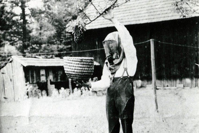 Imker beim Einfangen eines Bienenschwarms (um 1930).