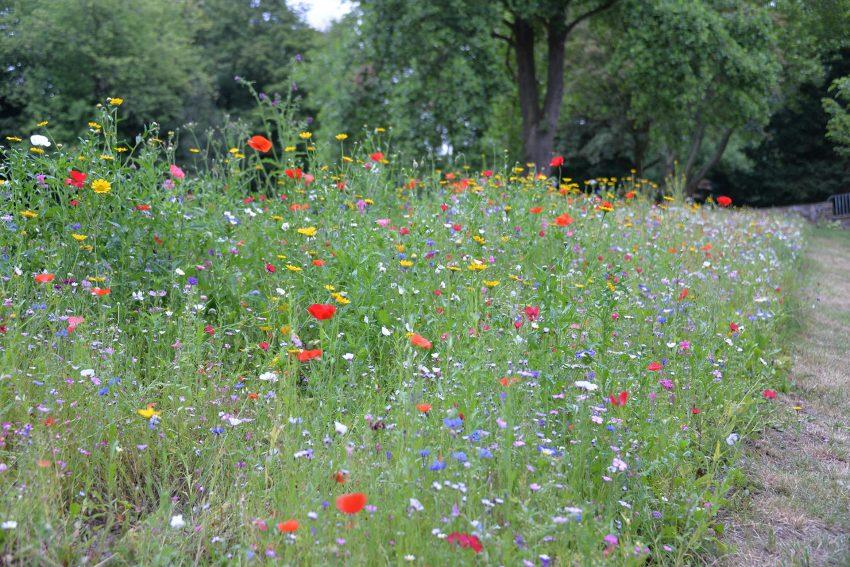 Wildblumen-Wiese.