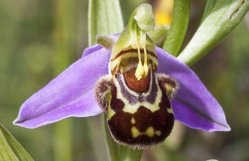 Blütenstand von Ophrys apifera - Bienen-Ragwurz.