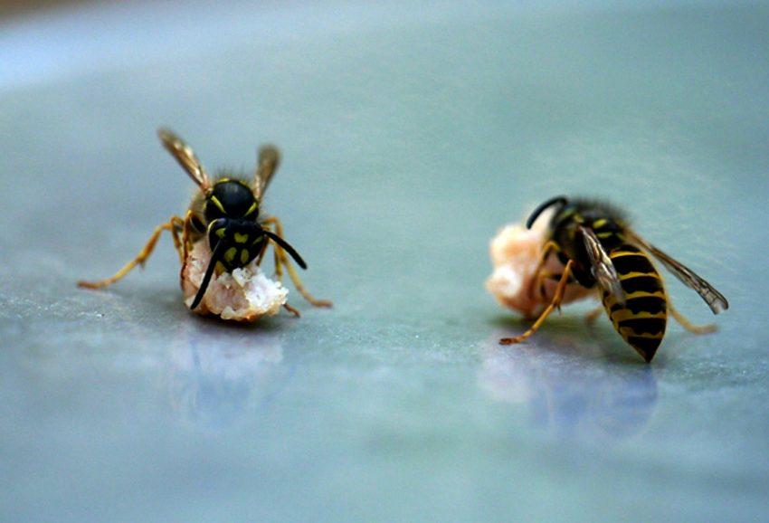 Sommerzeit ist auch Wespenzeit.