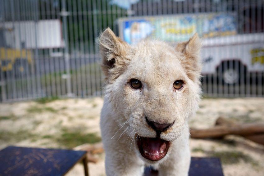 Der fünf Monate alte weiße Löwe Simba.