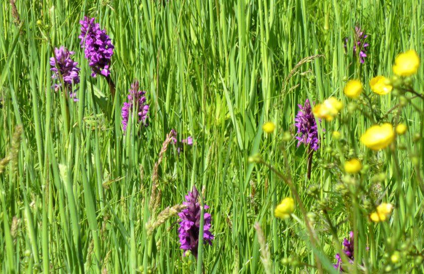 Orchideenwiesen im Naturschutzgebiet Voßnacken in Herne-Börnig.