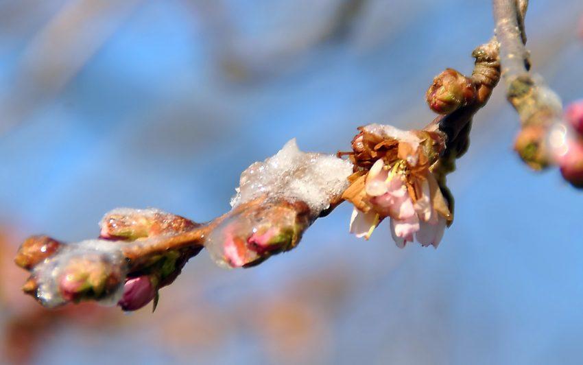Japanische Kirschblüte im Stadtgarten
