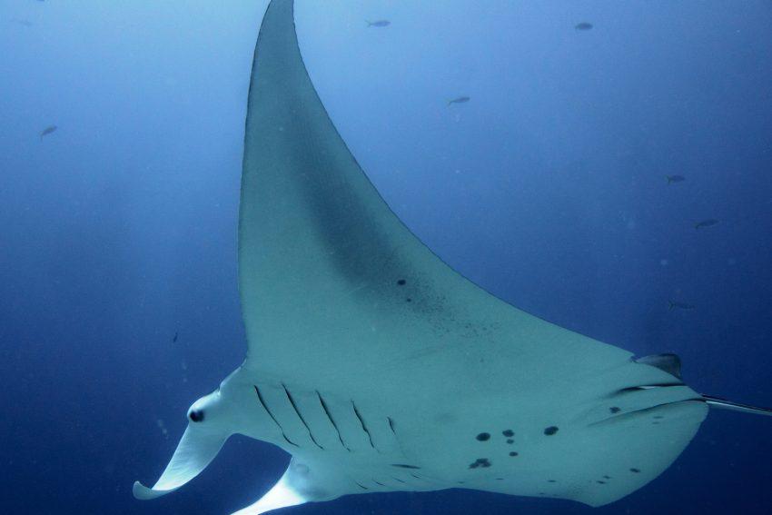 Herner Grauwale - Manta im Pazifischen Ozean.