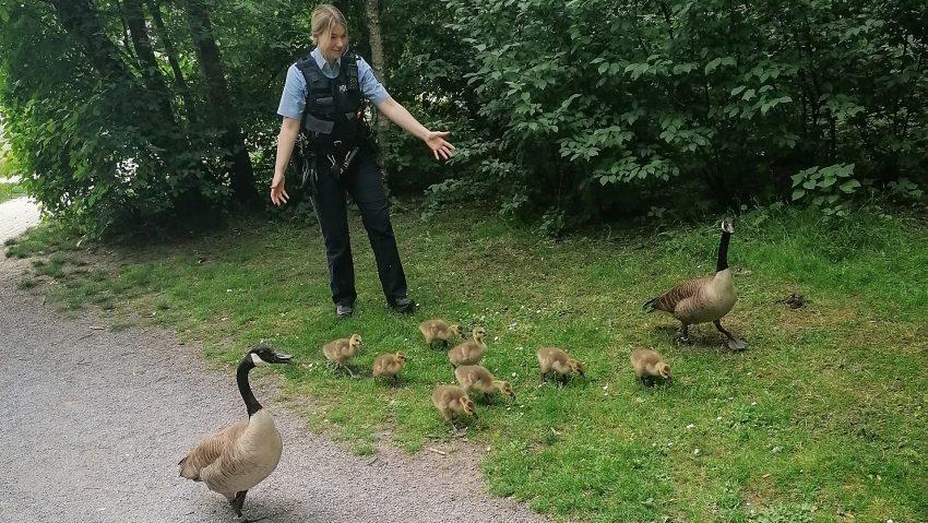 Eine Gänsefamilie verwatschelt sich an der Dorneburg und kehrt mit Hilfe zweier Polizisten und mehrerer Passanten zurück in den Dorneburger Park.