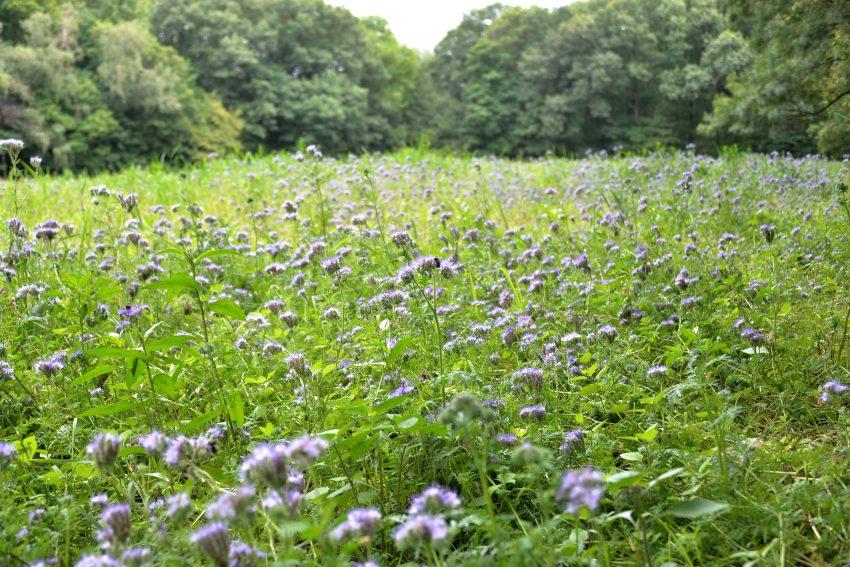 Der Bienenfreund (Phacelia tanacetifolia), auch Büschelschön oder Rainfarn genannt, blüht im Gysenberg-Wald.