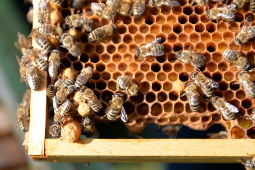 Westliche Honigbiene - im Garten von Tobias Büch, der erste Vorsitzende des Imkerverein Herne. Links untern im Bild, die deutlich größere Königinnenzelle, die Weiselzelle.