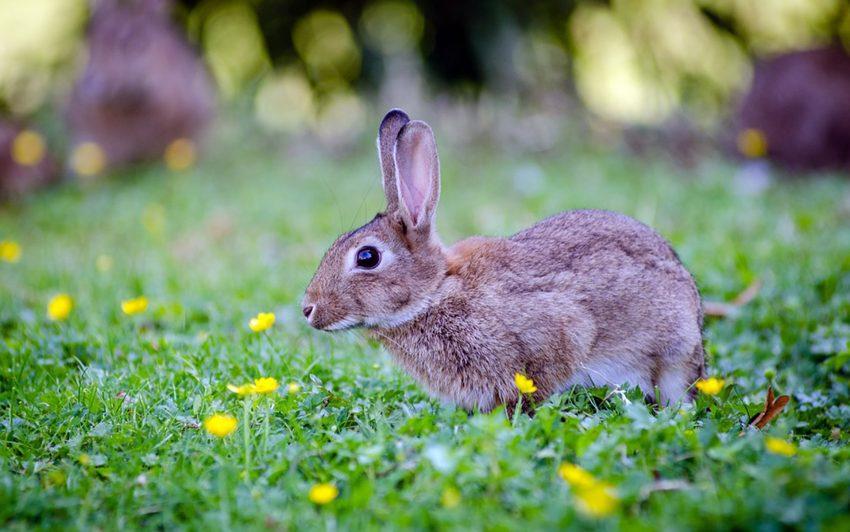 Kaninchen. (Symbolbild)