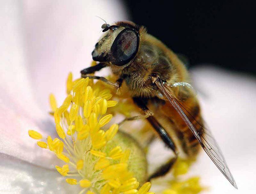 Biene auf Nektarjagd.
