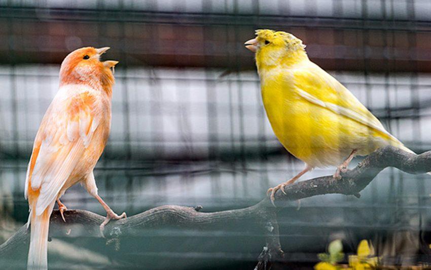 Kanarienvögel im Minizoo Eickel.