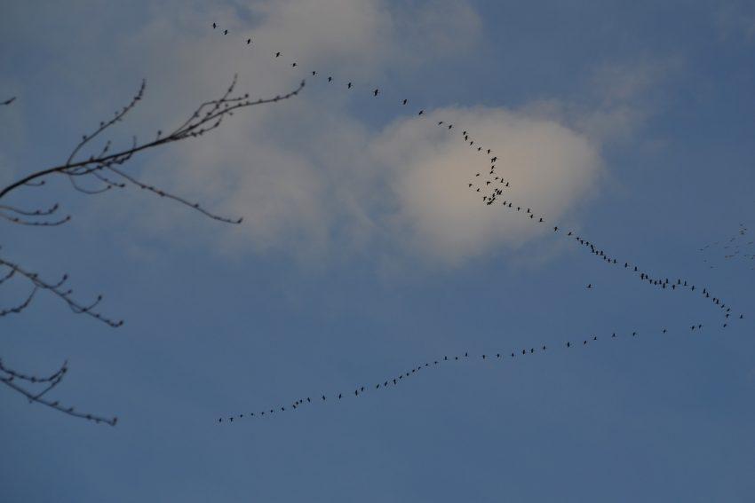 Zugvögel im Frühjahr. Roland Wojta.