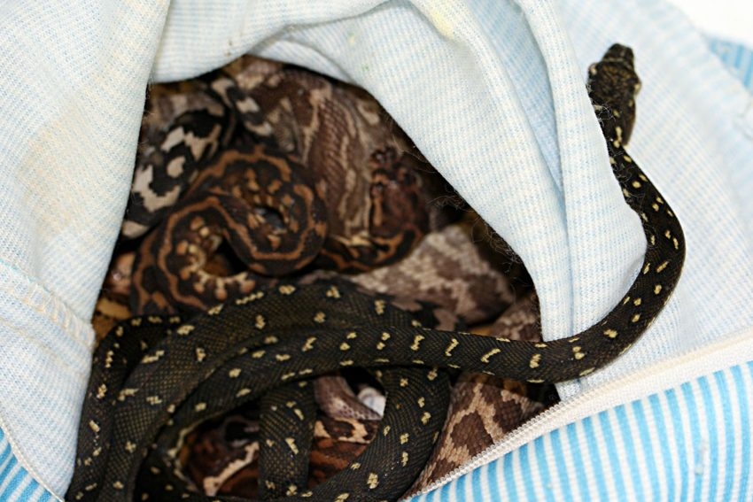 Schlangen im Reisegepäck geschmuggelt.