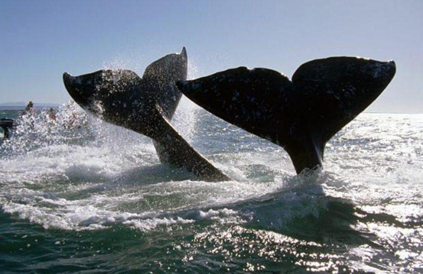 Diese Wale trafen sie bei einem Tauchgang in Norwegen.