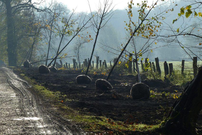 Neubepflanzung der Kastanienallee im Schlosswald