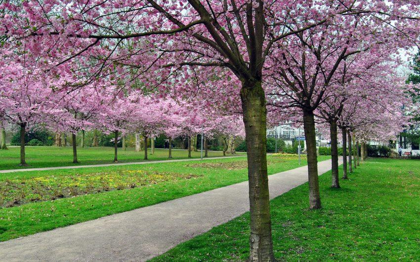 Die japanische Zierkirschen blühen im Stadtgarten.