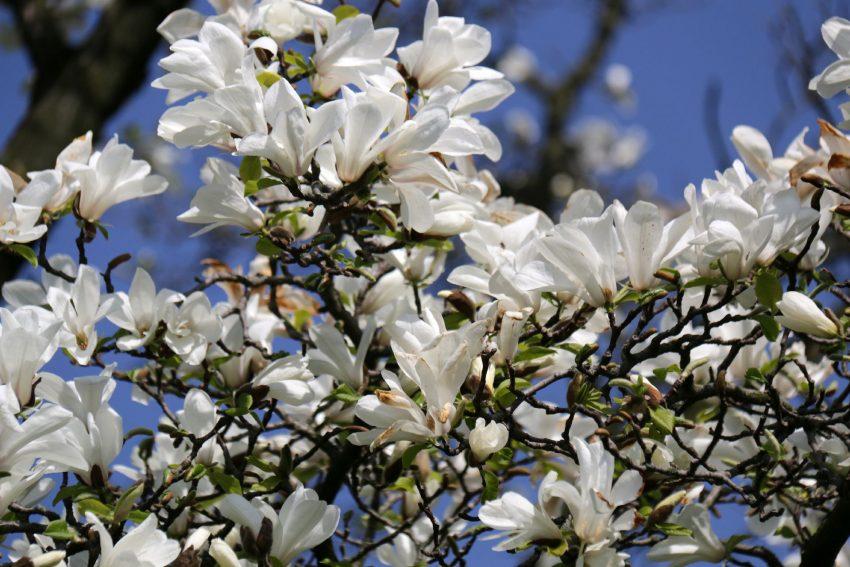 Magnolien in Wanne.