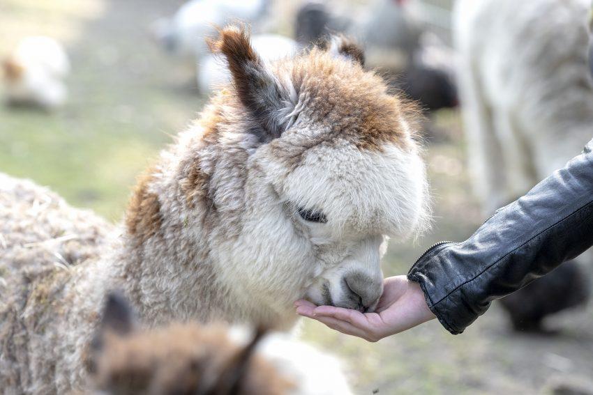 Die vier jungen Alpakas im Kleintierzoo im Revierpark Gysenberg in Herne (NW), bekommen am Dienstag (09.04.2019) ihre Namen: Alfred, Flocke, Horst und Karl.