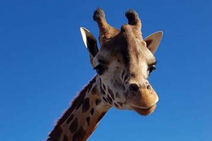 Giraffe George verlässt ZOOM Erlebniswelt Gelsenkirchen.
