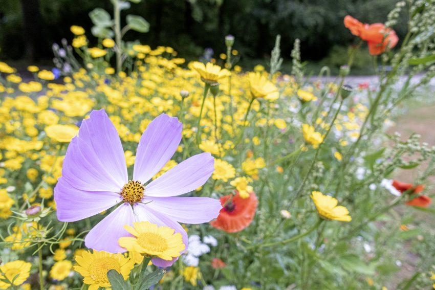 Blühstreifen im Stadtgarten an der Schaeferstraße in Herne (NW), am Mittwoch (08.07.2020).