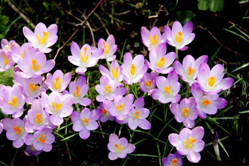 Die kleinblütigen Krokusse zeigen sich im Garten, kaum das der Schnee fort ist.