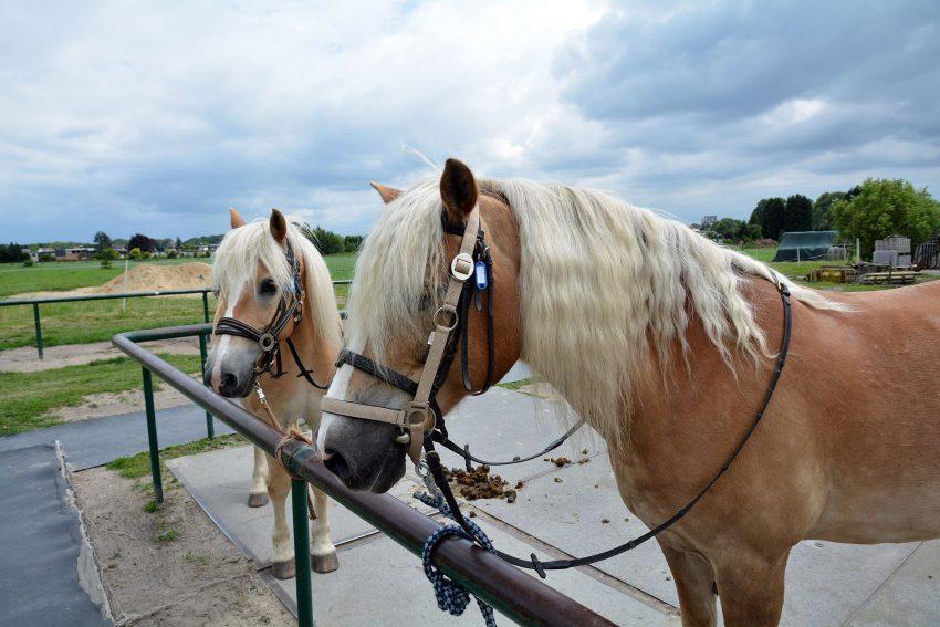Pferdesegnung bei der Pferdesportgemeinschaft Herten.