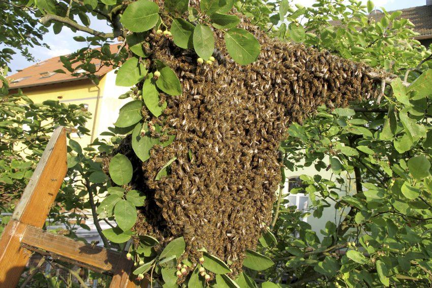 Honigbienen in einem Schwarm im Garten eines Wohnhauses an der Roonstraße in Herne (NW).