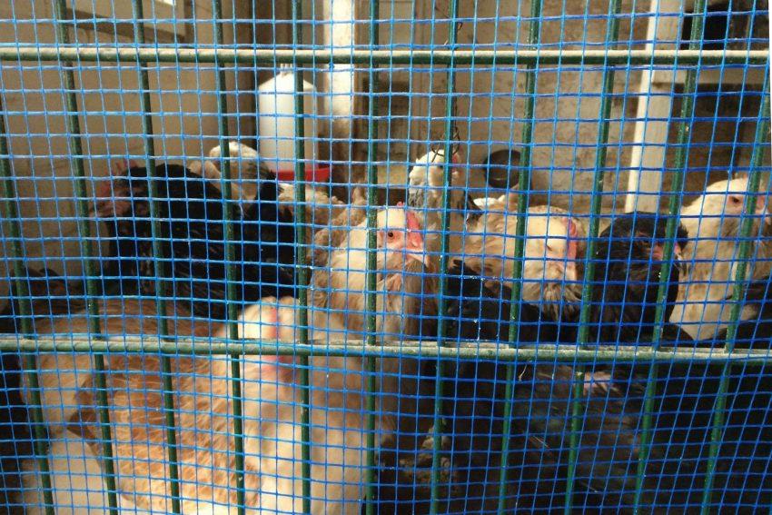 Geflügel hinter Gittern.