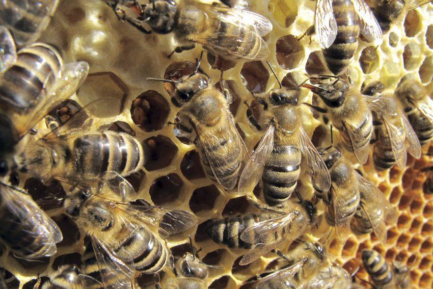 Honigbienen auf einer Brutwabe.